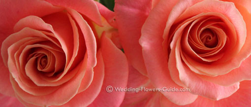 close up photo of the Miss Piggy peach wedding rose